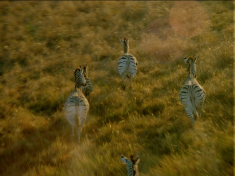 Track froward over herd of zebra running across grassy plain.