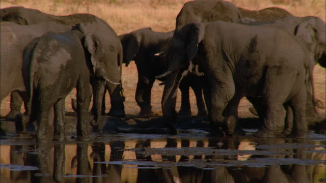 Track left as elephant walks through herd at waterhole, Botswana, South Africa Available in HD.