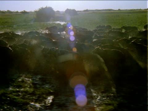 Track left over large herd of buffalo running through flooded grassy plains in bright sunlight