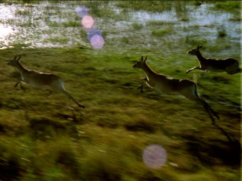 Track left over small herd of antelope running and splashing through flooded plain, Africa