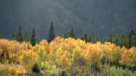 Track over autumnal golden aspen (Populus tremuloides) on hillside, Yellowstone, USA