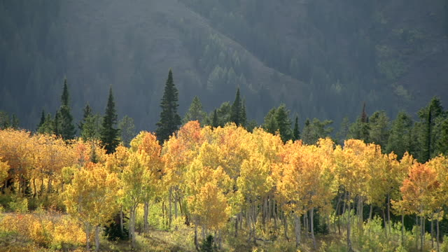Track over autumnal golden aspen (Populus tremuloides) on hillside, Yellowstone, USA