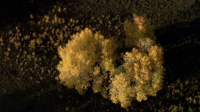 Track over autumnal golden aspen (Populus tremuloides), Yellowstone, USA