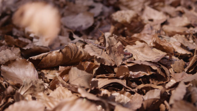 Track over dead leaves falling onto forest floor in Autumn, Gloucestershire, England