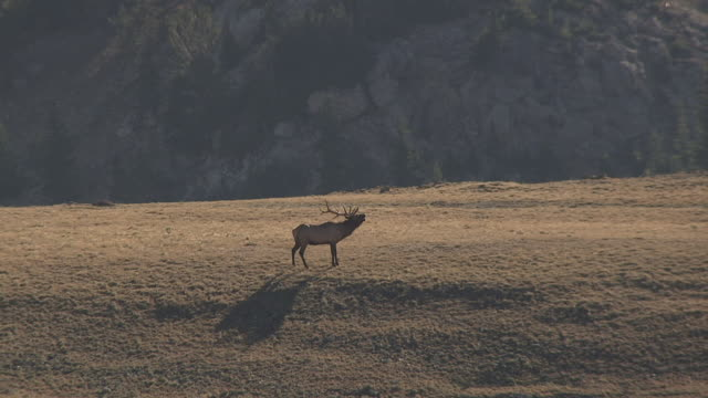 Track over elk stag (Cervus canadensis) bellowing on hillside, Yellowstone, USA