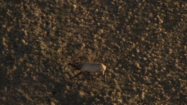 Track over elk stag (Cervus canadensis) on prairie, Yellowstone, USA