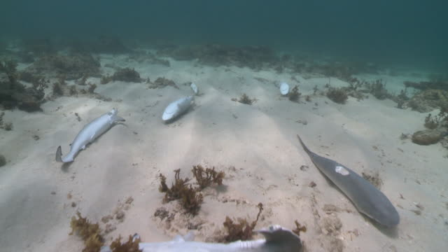 Track over group of de-finned dead sharks discarded on sea floor