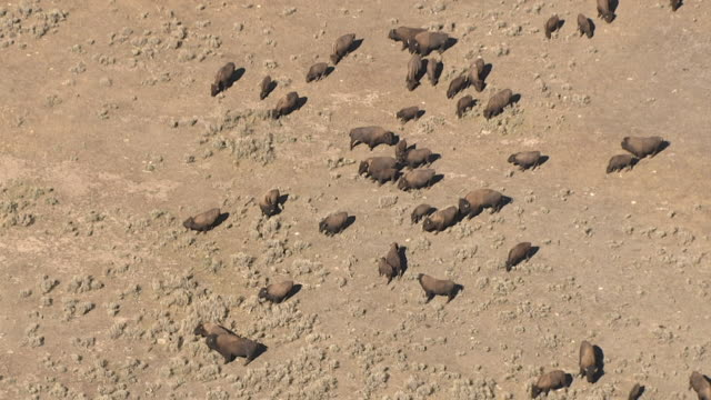 Track over herd of bison (Bison bison) on prairie, Yellowstone, USA