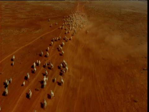 Track over herd of cattle running on dusty outback, Northern Territory, Australia