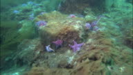 Track over pink and purple starfish on seabed