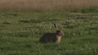 Track past grazing brown hare (Lepus europaeus) in meadow, Essex, England