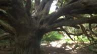 POV track past yew tree