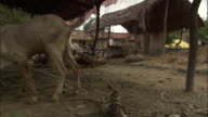 Track right as men herd ducks past goats, Varanasi Available in HD.