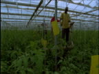 Track right as men work in huge tomato greenhouse Spain