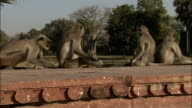 Track right over line of Hanuman langurs sat on parapet of Tomb of Akbar the Great Available in HD.