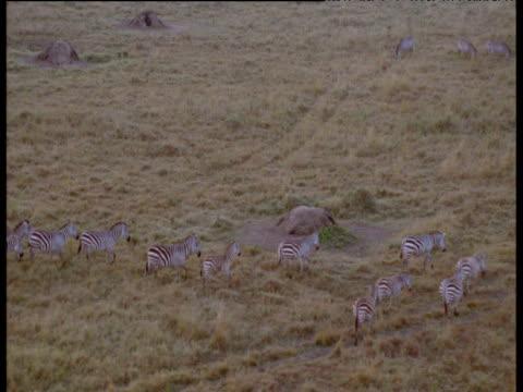 Track right over zebras on savanna Masai Mara Kenya