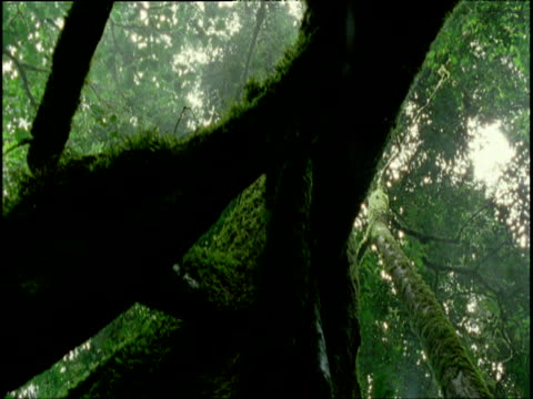 Track right under mossy tree trunks in rainforest, sunrays beam through canopy above, Congo
