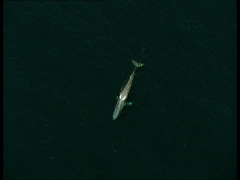 Track round blue whale at water's surface