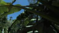 Track under banana plants (Musa sp), Hawaii
