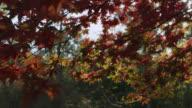 Track under Japanese maple tree (Acer palmatum) in Autumn sunshine, Gloucestershire, England