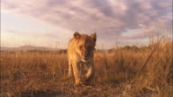 Track with African lion cub walking through grass