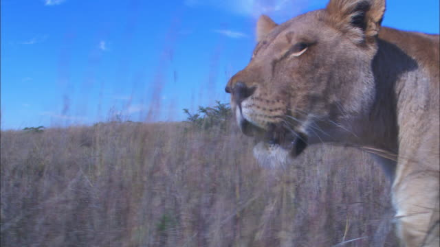 CU track with African lioness walking through short grass revealing second lioness with her