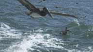 MS SLO MO track with Brown Pelican flying low over water with Oakland bridge in background
