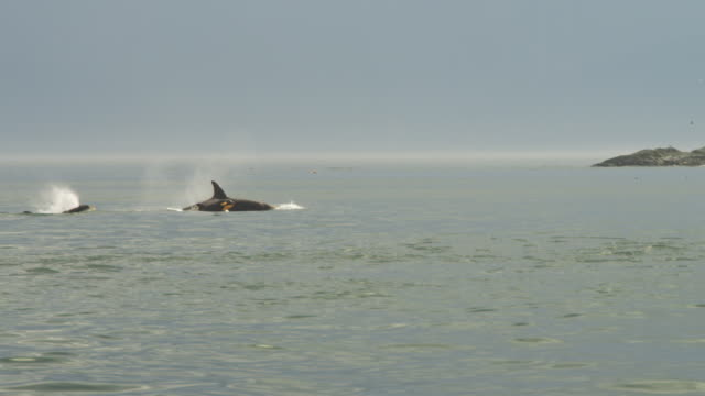 Track with group of Orcas with calf surfacing to breathe in profile with island in background