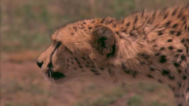 Track with stalking cheetah on savanna Available in HD.