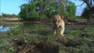 MS track with very young African lion cub as it walks towards camera by river