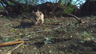 Track with very young African lion cub walking to camera past skulls
