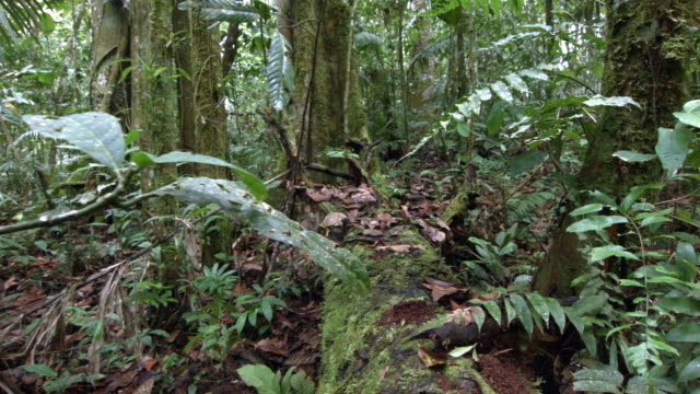 Tracking along a fallen tree trunk in Amazonian rainforest in Ecuador with army ants.