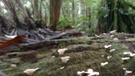 Tracking along a fungus covered rotting log on the floor of Amazonian rainforest in Ecuador