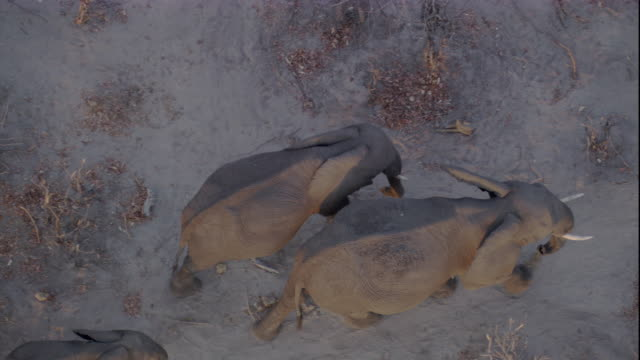 Tracking over a herd of elephants on a dusty plain, Botswana. Available in HD.