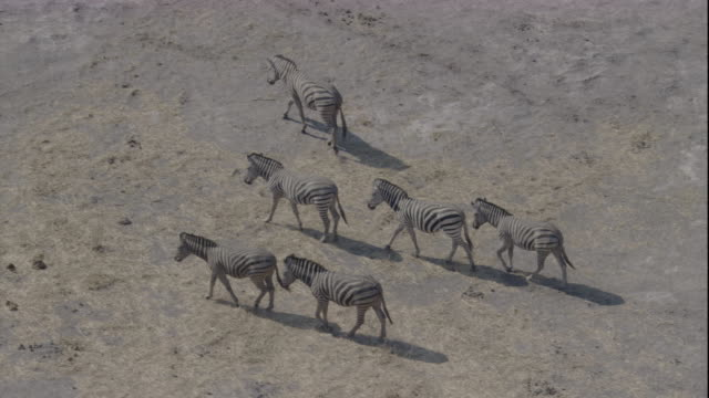Tracking over a herd of zebra on a dusty plain, Botswana. Available in HD.