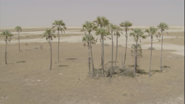 Tracking over a small cluster of palm trees at the edge of a barren salt pan, Botswana. Available in HD.