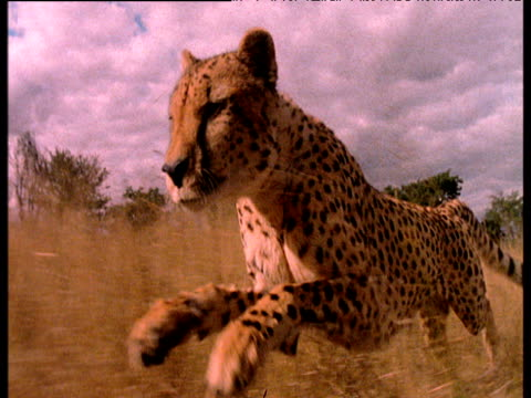 Tracking shot alongside running cheetah on savanna.