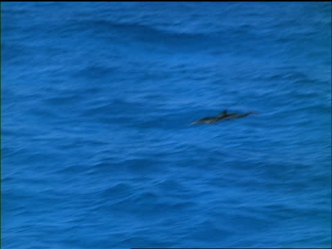 tracking shot dolphin swimming in turquoise water + leaping into air