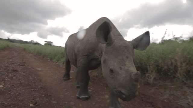 Tracking shot following a juvenile Black rhinoceros walking along a dirt track at the Lewa Wildlife Conservancy, Kenya.