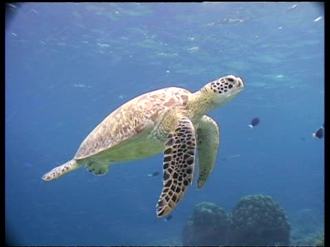 MS Tracking shot, Immature Green turtle swimming, gets silhouetted against surface as it goes up to breathe, Malaysia