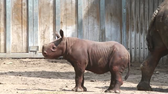Tracking Shot King an Eastern black rhinoceros born August 26 makes his public debut at the Lincoln Park Zoo with his mother Kapuki on September 17...