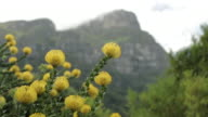 Tracking shot on Yellow Bird flowers growing on the outskirts of Cape Town.