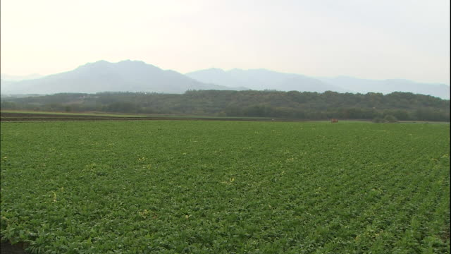 A tractor harvests beets in a vast field in Hokkaido, Japan.
