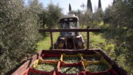 A tractor pulls a trailer full of harvested olives through a grove.