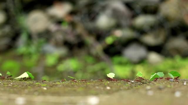Trail of leaf cutter ants