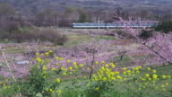 Train travelling at rural area and peach trees