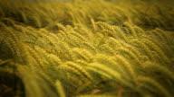 HD DOLLY: Tranquil Scene In Wheat Field