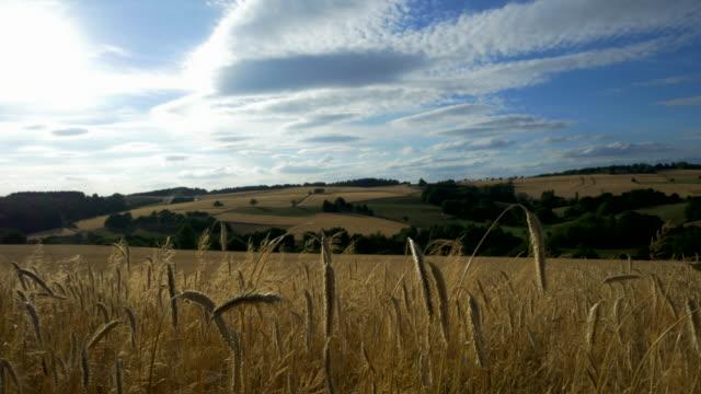 travel shot, golden stalks of rye ears in rolling landscape