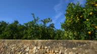 travel shot, orange orchard behind stone wall against blue sky