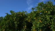 travel shot, orange trees in orchard against blue sky